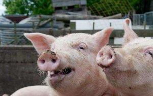 【技术】猪场头疼的一种病,副猪嗜血杆菌病的防治方法!