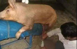 【养猪】大猪场配种过程中容易忽略的细节!