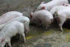 这5个因素常常引起猪腹泻,这样预防和治疗,效果很明!