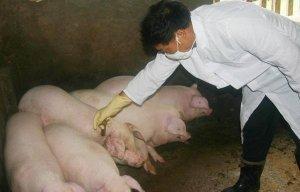 打口蹄疫疫苗前的一些建议,养猪人必须知道!