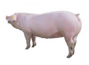 """【养猪】后备母猪有效诱情""""新方法"""""""