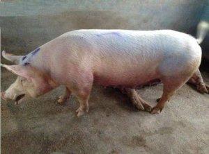 冬季困扰养猪人的难题,呼吸道疾病占头一个!