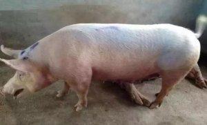 猪呼吸道病真正的发病原因是这些!