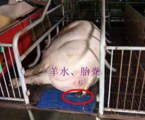 母猪产仔前的几个征兆,养猪人一定要会看