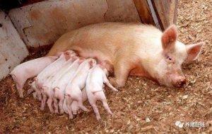 母猪产仔你不用再加班熬夜了!快看看吧!