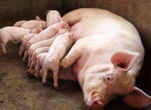母猪产后不吃原因及解决方式大全!