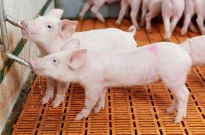 【养猪贴心小知识】冬季给猪喝温水,效果有多好谁用谁知道!