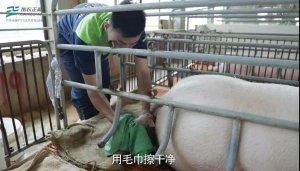 正确接产实效技术,提升仔猪初生活力