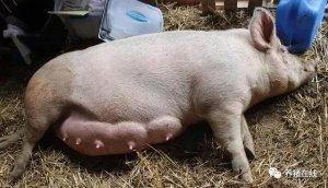 【管理】母猪乳房炎全面分析和治疗