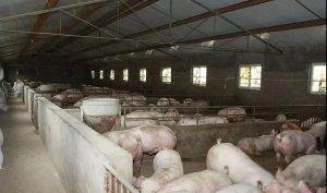 【管理】春季养猪,养猪人必须重点关注的四个方面!