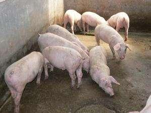 樊福好:非洲猪瘟防控,必须保护易感猪群