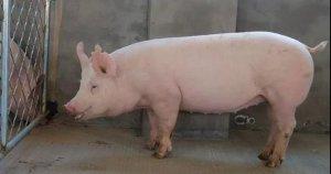 大部分的母猪产仔量少,都是由这几个原因造成的