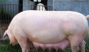 母猪分娩做好这3个细节,母猪无炎症,仔猪好养
