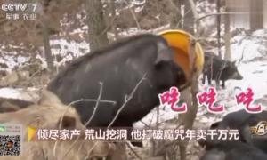 承包荒山养殖藏香猪,如今年销售额超千万