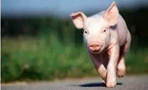 接种口蹄疫疫苗,猪不食 呕吐 拉稀 死亡的,快来看!