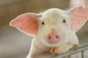养猪尝甜头 脱贫好门路