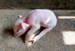 疫病净化之猪伪狂犬病净化的技术性措施