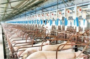 导致规模猪场陆续发生非洲猪瘟的4个规律