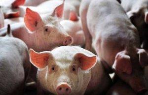 10年来最缺猪的1年,2019年有猪加上敢冒险就能赚钱?