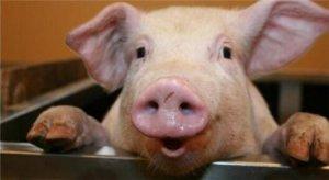 猪价疯狂飙升的背后,谁才是真正的幕后推手?