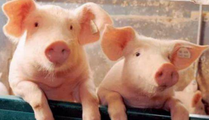 未来养猪业格局将向何方?