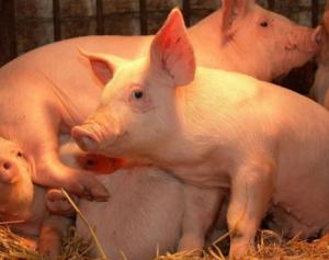 岑溪市推广生猪现代化养殖带动产业增效