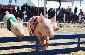 东北恐慌性减栏超一半,致节后肥猪和仔猪价格暴涨