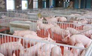 非洲猪瘟下,如何提高春季外调商品仔猪成活率?