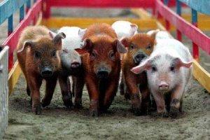 【贴心小知识】幼仔猪冬春断奶时须注意几点!