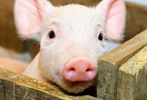 春暖花开猪病也开始增多,一定要注意防控