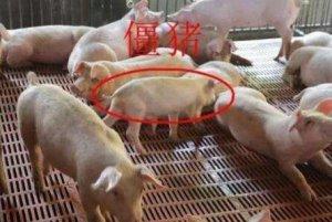【管理】你家肥猪长的慢,可能是这几点没有做好?