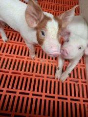 母猪产仔后如何恢复体膘?别贸然加大喂食量,这2招帮了大忙!