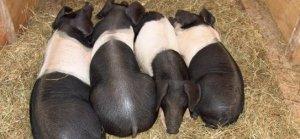 提高母猪繁殖能力的几点措施