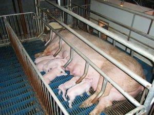 春季预防猪腹泻病的综合措施