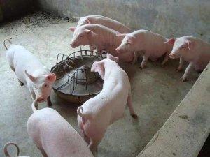 """""""非瘟""""下,散小家庭猪场的生物安全如何做?"""