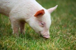 面对仔猪水肿病,养猪户该怎么办?