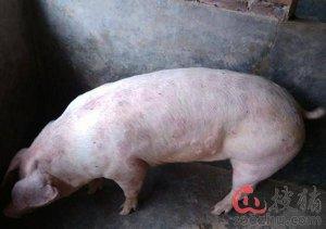 猪身上起红斑点怎么办?
