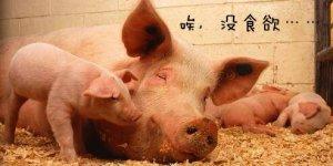【管理】母猪不食的根本原因,养殖户可以这么做!