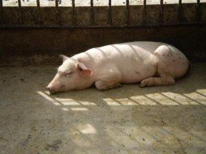 天气越来越暖和 猪弓形体病不可忽视!