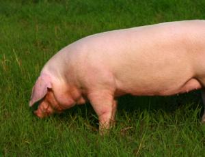 母猪阶段性饲喂方法,值得养猪人收藏