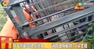 永州一火车侧翻驾驶员逃生 消防破拆解救74头生猪