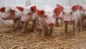 非洲猪瘟对中国养猪业的冲击有多大?未来会持续多久?
