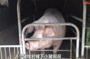 生猪肉又降价了?农村养猪大叔告诉你最新价格,这价格能挣到钱吗