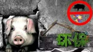 疫情再起,环保又来!惠州龙门6月底完成第一批猪场清拆任务,江西吉安关停退养6402家生猪养殖场……