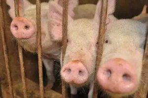 """从""""运猪到运肉"""",生猪产区、销区供应格局正在发生变化"""