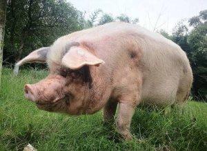"""猪也是濒危动物了?回锅肉标准原料""""成华猪""""比大熊猫还稀少"""