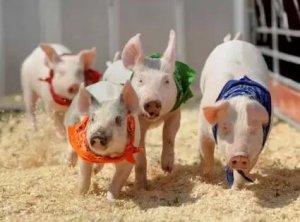 肉价连降25月后转涨 仔猪价格逼近千元