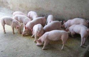 仔猪从出生开始,到60日龄的饲养管理