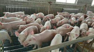非瘟压力下,如何保全外购仔猪?