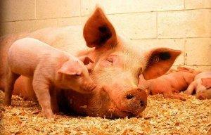 【养猪】母猪下仔不多,总是三五个,怎么回事?怎么办?